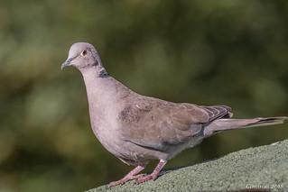 Collared dove (Streptopelia decaocto).