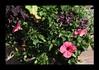 Duke Gardens July 2015 9.24.00 PM (LaPajamas) Tags: nc flora dukegardens gardens