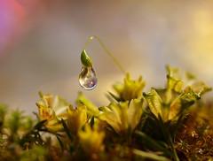 Mine mine mine !!! (miss gecko) Tags: mine greedy needy moss waterdrop flowers macro macrodreams concept