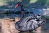 Cygnus atratus. (Ciminus) Tags: naturesubjects cignonero ornitology nature ciminus birds ciminodelbufalo uccelli blackswan cygnusatratus afsnikkor80400vr oiseaux nikond500 nikon wildlife ornitologia aves