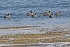 PUNTEA 0386 (bryanjsmith62) Tags: punateal spatulapuna ducksgeeseandwaterfowl anatidae