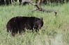 American Black bear (Ursus americanus) (TG23-Birding in a Box) Tags: americanblackbear blackbear ursusamericanus yellowstone yellowstonenationalpark bear bears wyoming