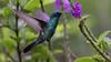 097.5 Goulds Violetoorkolibrie-20171109-J1711-64873 (dirkvanmourik) Tags: aves birdsofperu bosquenublado carreteraamanu colibricoruscans colibrírutilante gouldsvioletoorkolibrie nevelwoud peru2017 reisdagcuscomanu sanpedrolodge sparklingvioletear vogel