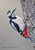 Great Spotted Woodpecker (Alan-Bryant) Tags: greatspottedwoodpecker woodpecker rare elusive bird