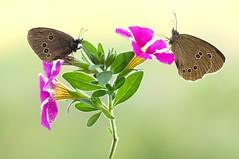 In-A-Gadda-Da-Vida II... (Zbyszek Walkiewicz) Tags: sony closeup insects butterflies butterfly coth5