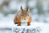 Red Squirrel (Sciurus vulgaris) in Snow (cjdolfin) Tags: alba highland sciurusvulgaris scotland scottish cjdolfin face forest head mammal nature redsquirrel snow squirrel tree tufts whiskers white wild wildlife winter woods