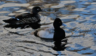 Lesser Scaup and female wood duck