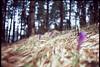 little spring from Sarajevo (Boldizsár Nádi) Tags: filmphotography 35mmfilm photographersontumblr analogphotography originalphotographers analogcamera analog analogue filmisnotdead filmcamera filmgrain film negative negativephotography negativecamera celluloid vintage grain vignette dof smooth noise nature forest macro bokeh archive m42 screw mount meet woodland folk praktica 50mm super takumar fuji velvia 100 35mm sarajevo bosnia herzegovina trebevic pines