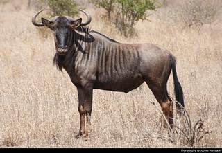 Blue Wildebeest, Kruger NP, South Africa