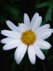 Daisy wheel (jackyjulyan) Tags: flowers flower flora daisy white petals yellow nature