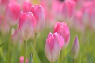 winter tulips ~pink & white~