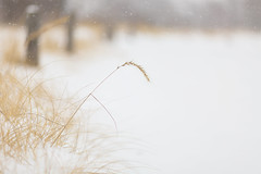 the snowy beach (Marc McDermott) Tags: beach snow winter cold minimalism grass canada ontario