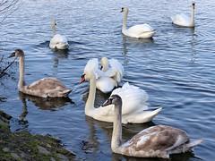 Family and friends (Christa_P) Tags: nature outdoor swan schwan animal tiere wasser waterfowl waterbird wasservögel water mülheimanderruhr fauna 7dwf