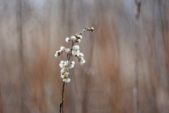 Winter meadow. (agnieszka.a.morawska) Tags: lublin poland bokehlicious bkhq beyondbokeh bokeh dof helios44m helios44 helios flower winter meadow