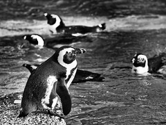 Five Penguins (alterahorn) Tags: pinguin penguin manchot allwetterzoo münster zoo tierpark tiergarten bw sw nb olympus olympuspenf penf mzuiko mzuiko40150mm