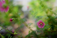 flower² 739 (kaifudo) Tags: sapporo hokkaido japan botanicalgarden flower hokkaidouniversity greenhouse anisodonteacapensis sanremoqueen 札幌 北海道 北大植物園 温室 アニソドンテア・カペンシス サンレモクイーン サクラアオイ 桜葵 nikon d810 nikkor afs 24mmf14ged 24mm