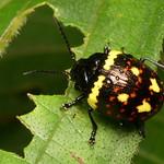 Leaf beetle, Platyphora sp., Chrysomelidae thumbnail