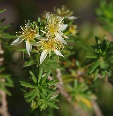 Calytrix depressa, Mundaring Weir, near Perth, WA, 13/11/17 (Russell Cumming) Tags: plant calytrix calytrixdepressa myrtaceae mundaringweir perth westernaustralia