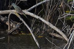 Green Heron (Florida Birding Trail) Tags: evergladesnationalparksharkvalley florida floridafishandwildlifeconservationcommission fwc greenheron publiclands