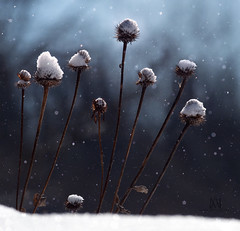 silent witnesses to a very snow winter (marianna_armata) Tags: p1840018 echinacea flower seed head winter snow weeds plants falling dark sombre cold montreal quebec canada mariannaarmata hcs visualpoetry bokeh sdof