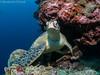 09022018-_1230341 (chevalbenjamin) Tags: philippines visayas detroitdetanon moalboal underwaterphotography underwater sealife turtle nature seaocean