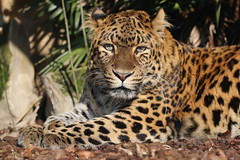 North-Chinese leopard..... (law_keven) Tags: northchineseleopard leopard cats bigcats paris france pariszoo zoo wildlife wildlifezoo wildlifephotography photography