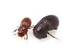 Mozartius spp. (tuyamagu) Tags: coleoptera beetle insect scarabaeoidea scarabaeidae aphodiinae mozartius scarabs japan entomology macro macrophotography nature bugs