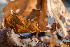10/365 2018 Decaying Leaves (crezzy1976) Tags: nikon d3300 nikkor40mm macro closeup outdoors nature leaves leaf browns decay decaying crezzy1976 photographybyneilcresswell photoaday 365 365challenge2018 day10