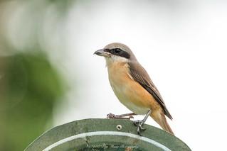 Brown Shrike ©