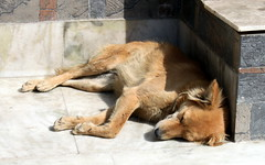 delhi morning sun (kexi) Tags: delhi india asia dog animal sleeping sun lazy stone brown relax siesta happiness idyll canon february 2017 instantfave