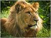 (daverigleyphotos) Tags: lyon blackpool zoo olympus penf 75300mm green brown wildlife bigcats nature long lenses