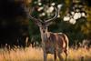 'A Gentle Hart' (Jonathan Casey) Tags: bokeh deer red nikon d810 200mm f2 vr