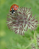 Coccinelle (jade_or89) Tags: coccinelle macro macrophoto macrophotographie insecte nature