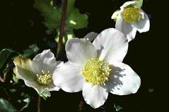 Ellèboro bianco (Melisenda2010) Tags: flora elleboro febbraio coth coth5