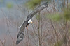 Bald Eagle (speymeiser) Tags: birdsofprey birds eagles