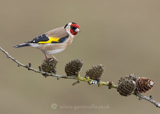 Goldfinch 28th February