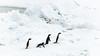 """Waiting for the bus"" - Marguerite Bay, West Antarctic Peninsula (alejandro.romangonzalez) Tags: penguins antarctica antarcticpeninsula bas britishantarcticsurvey nature wildlife outdoors landscape seaice snow margueritebay rothera wap"