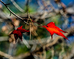 Hanging Onto the Colors Through the Winter (that_damn_duck) Tags: nature leaves fallcolors colorsofautumn