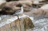 Torrent duck (Corey Hayes) Tags: torrent duck nature ecuador