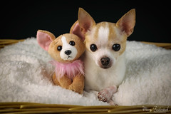 Pica Twinning.jpg (mraderstorf) Tags: sheepskin friend mammal baby copy nikond700 brown beanie darling animal twin love basket nikon50mmf14 ear toy 852 chichi paw cuddle stuffed canine wicker 52weeksfordogs blanket white twins whisker similar project365 fur precious cute pink perro dog nose 365project eye chihuahua 36554 plushy pet