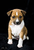 Akiro (patrickdunse) Tags: 50mm 6d animal basenji black braun brown canon canon6d canonef50mmf18ii canoneos6d dog eos festbrennweite hund hundewelpe primelens puppy shooting tier weis welpe white