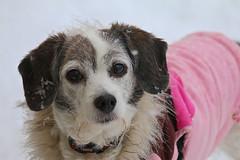 Snowflakes 3/52 (Boered) Tags: darla dog snow snowflakes coat 52weeksfordogs