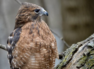 Red Shouldered Hawk  - Buteo Lineatus - Stillman Nature Center - South Barrington IL