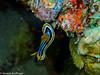Chromodoris quadricolor, Nudibrach (Severin Korfhage) Tags: wildlife nature redsea ocean coralreef corals nudibranchia mollusk pyjamaschnecke chromodorisquadricolor