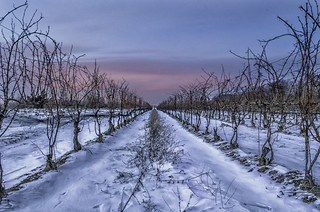 Blue Hour in the Vineyard