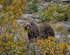Grizzly Gaze (Philip Kuntz) Tags: grizzlybear grizzly brownbear ursusarctoshorribilis yukon