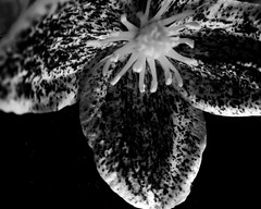 """Specked Clematis"" (Clematis Cirrhosa Freckles) (seanwalsh4) Tags: macro speckled clematis flower flora macromondays 1inchflower winterfloweringclematis monochrome happymacromonday belllikeflower canon 22012018 pinkflora hmm clematiscirrhosafreckles yellowstamen beefriendlyplant blackwhite 7dwf wednesdaysmacroorcloseup"