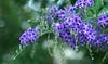 Pretty in Purple 023/365 (judith511) Tags: flower geishagirl duranta 2018onephotoeachday naturethroughthelens