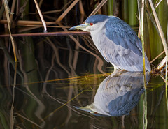 Black-crowned Night Heron Reflecting (cathywasson) Tags: black crowned heron reflection reflecting sweetwater wetlands tucson arizona