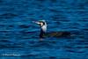 Cormorant (Marcin Kaluza) Tags: bird rspbotmoor animal cormorant